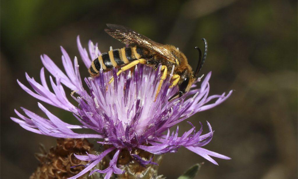Gelbbindige Furchenbiene (Männchen) - Halictus Scabiosae